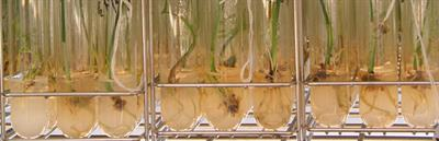 Vitropalm - Date Palm Tissue Culture Based Technology
