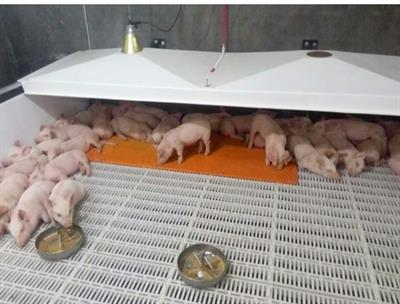 Qingdao - Heating Pigsty Mat