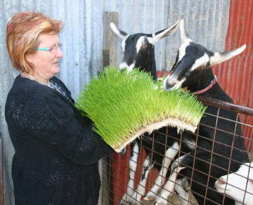 Feeding Solutions for Goats - Agriculture - Livestock